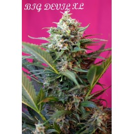 Big devil xl auto sweet seeds