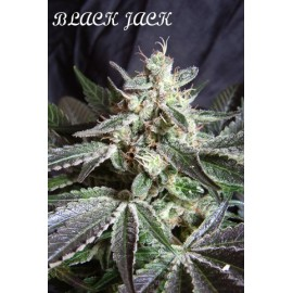 Black jack 100% sweet seeds