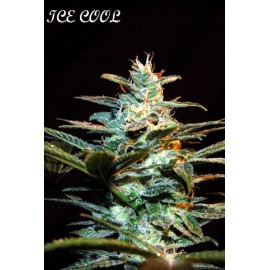 Ice cool 100% sweet seeds