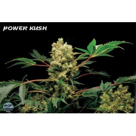 Powerkush 100% dinafem