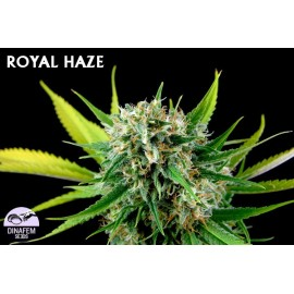 Royal haze 100% dinafem