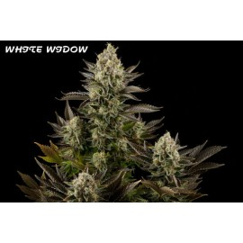 White widow 100% dinafem