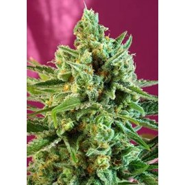 S.A.D CBD (3 unidades) sweet seeds sweet afgani delicious