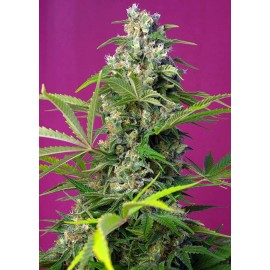 Gorila Girl Sweet Seeds